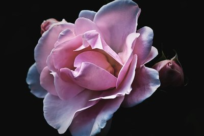 roses-56702__340.jpg
